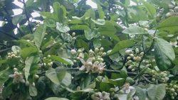 晩白柚の花